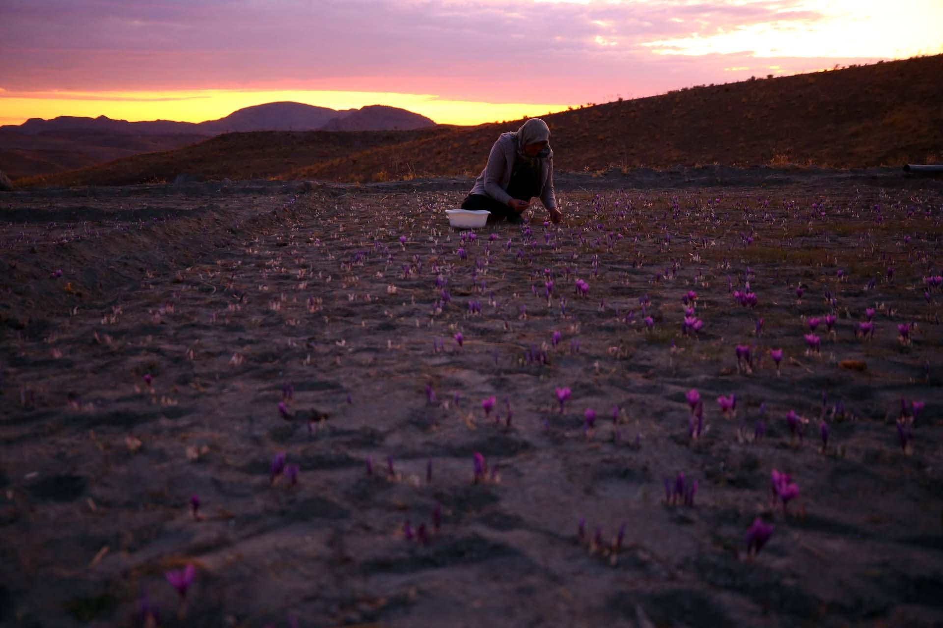 I produttori di zafferano nella la zona di Qa'en Khorasan
